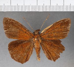 (Hesperiidae_gen sp. CF775 - CFC15889)  @11 [ ] copyright (2019) Christer Fahraeus Fahraeus Institute