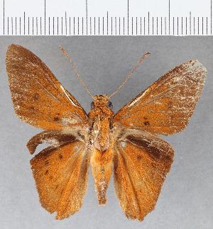 (Hesperiidae_gen sp. CF781 - CFC15890)  @11 [ ] copyright (2019) Christer Fahraeus Fahraeus Institute