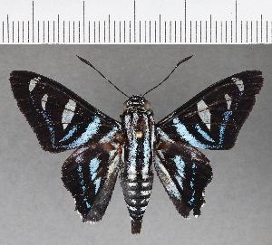 (Hesperiidae_gen sp. CF706 - CFC15900)  @11 [ ] copyright (2019) Christer Fahraeus Fahraeus Institute