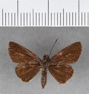 (Hesperiidae_gen sp. CF133 - CFC16540)  @11 [ ] copyright (2018) Christer Fahraeus Fahraeus Institute