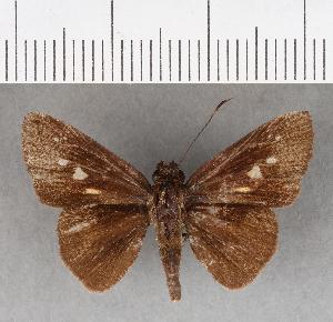 (Hesperiidae_gen sp. CF278 - CFC16699)  @11 [ ] copyright (2018) Christer Fahraeus Fahraeus Institute