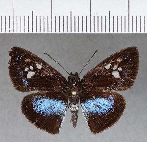 (Hesperiidae_gen sp. CF332 - CFC16871)  @11 [ ] copyright (2018) Christer Fahraeus Fahraeus Institute