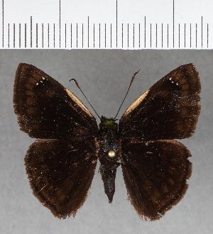 (Hesperiidae_gen sp. CF382 - CFC16876)  @11 [ ] copyright (2018) Christer Fahraeus Fahraeus Institute