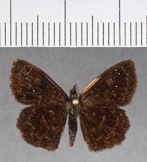 (Hesperiidae_gen sp. CF664 - CFC17025)  @11 [ ] copyright (2018) Christer Fahraeus Fahraeus Institute