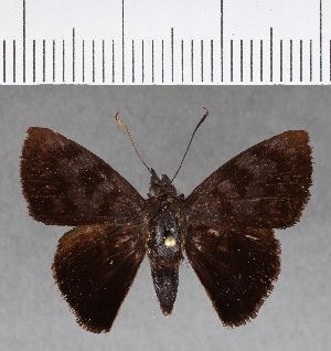 (Hesperiidae_gen sp. CF662 - CFC17134)  @11 [ ] copyright (2018) Christer Fahraeus Fahraeus Institute