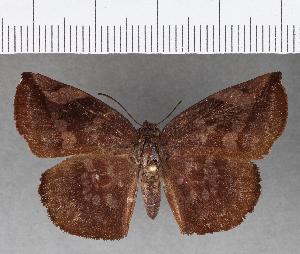 (Hesperiidae_gen sp. CF746 - CFC17151)  @11 [ ] copyright (2019) Christer Fahraeus Fahraeus Institute