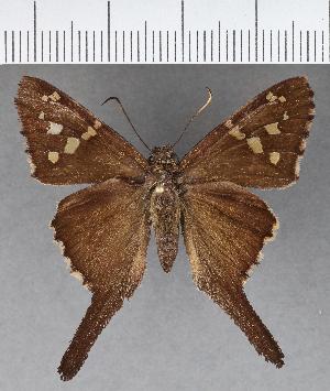 (Hesperiidae_gen sp. CF597 - CFC17154)  @11 [ ] copyright (2018) Christer Fahraeus Fahraeus Institute