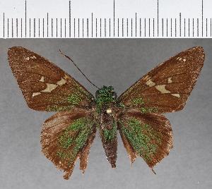 (Hesperiidae_gen sp. CF599 - CFC17157)  @11 [ ] copyright (2018) Christer Fahraeus Fahraeus Institute
