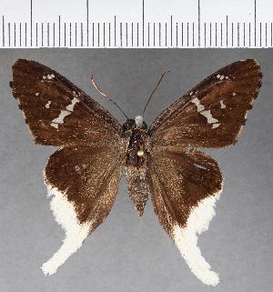 (Hesperiidae_gen sp. CF595 - CFC17158)  @11 [ ] copyright (2018) Christer Fahraeus Fahraeus Institute