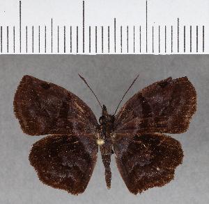 (Hesperiidae_gen sp. CF661 - CFC17441)  @11 [ ] copyright (2018) Christer Fahraeus Fahraeus Institute