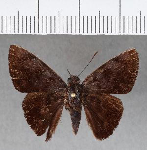 (Hesperiidae_gen sp. CF475 - CFC17561)  @11 [ ] copyright (2018) Christer Fahraeus Fahraeus Institute