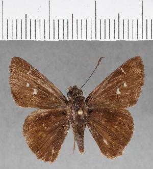 (Hesperiidae_gen sp. CF185 - CFC17564)  @11 [ ] copyright (2018) Christer Fahraeus Fahraeus Institute