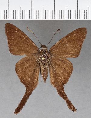 (Hesperiidae_gen sp. CF615 - CFC17566)  @11 [ ] copyright (2018) Christer Fahraeus Fahraeus Institute