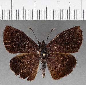 (Hesperiidae_gen sp. CF716 - CFC01774)  @11 [ ] copyright (2019) Christer Fahraeus Fahraeus Institute