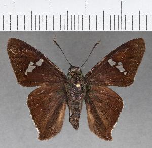 (Hesperiidae_gen sp. CF607 - CFC01790)  @11 [ ] copyright (2018) Christer Fahraeus Fahraeus Institute