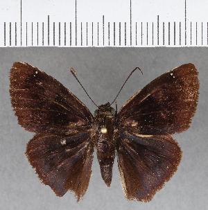 (Hesperiidae_gen sp. CF669 - CFC01806)  @11 [ ] copyright (2018) Christer Fahraeus Fahraeus Institute