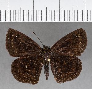 (Hesperiidae_gen sp. CF685 - CFC18207)  @11 [ ] copyright (2018) Christer Fahraeus Fahraeus Institute