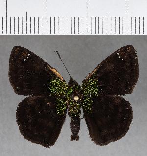 (Hesperiidae_gen sp. CF386 - CFC18332)  @11 [ ] copyright (2018) Christer Fahraeus Fahraeus Institute