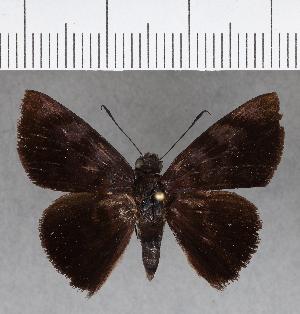 (Hesperiidae_gen sp. CF679 - CFC18353)  @11 [ ] copyright (2018) Christer Fahraeus Fahraeus Institute