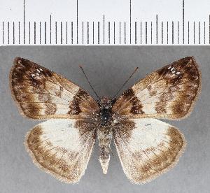 (Hesperiidae_gen sp. CF680 - CFC18668)  @11 [ ] copyright (2018) Christer Fahraeus Fahraeus Institute