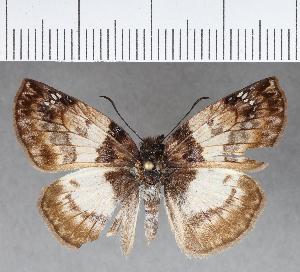 (Hesperiidae_gen sp. CF472 - CFC18681)  @11 [ ] copyright (2018) Christer Fahraeus Fahraeus Institute