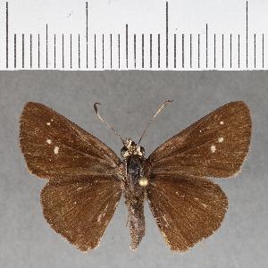 (Hesperiidae_gen sp. CF166 - CFC18738)  @11 [ ] copyright (2018) Christer Fahraeus Fahraeus Institute