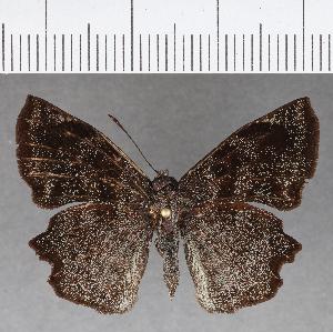 (Hesperiidae_gen sp. CF748 - CFC18789)  @11 [ ] copyright (2019) Christer Fahraeus Fahraeus Institute