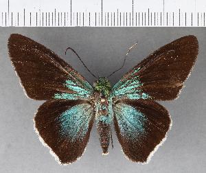 (Hesperiidae_gen sp. CF487 - CFC18900)  @11 [ ] copyright (2018) Christer Fahraeus Fahraeus Institute