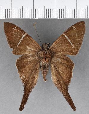 (Hesperiidae_gen sp. CF617 - CFC18943)  @11 [ ] copyright (2018) Christer Fahraeus Fahraeus Institute