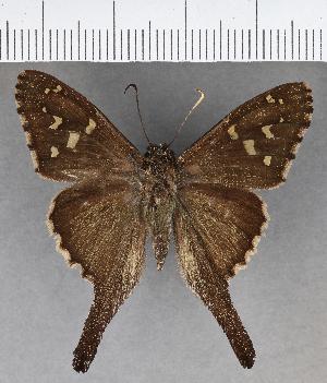 (Hesperiidae_gen sp. CF620 - CFC18958)  @11 [ ] copyright (2018) Christer Fahraeus Fahraeus Institute