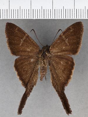 (Hesperiidae_gen sp. CF618 - CFC18962)  @11 [ ] copyright (2018) Christer Fahraeus Fahraeus Institute