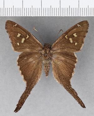 (Hesperiidae_gen sp. CF619 - CFC18963)  @11 [ ] copyright (2018) Christer Fahraeus Fahraeus Institute