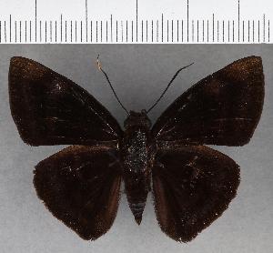 (Hesperiidae_gen sp. CF749 - CFC18964)  @11 [ ] copyright (2019) Christer Fahraeus Fahraeus Institute