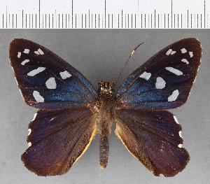 (Hesperiidae_gen sp. CF500 - CFC18966)  @11 [ ] copyright (2018) Christer Fahraeus Fahraeus Institute