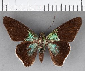(Hesperiidae_gen sp. CF494 - CFC18970)  @11 [ ] copyright (2018) Christer Fahraeus Fahraeus Institute