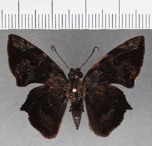 (Hesperiidae_gen sp. CF750 - CFC18980)  @11 [ ] copyright (2019) Christer Fahraeus Fahraeus Institute