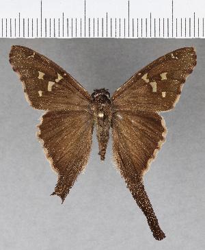 (Hesperiidae_gen sp. CF622 - CFC18981)  @11 [ ] copyright (2018) Christer Fahraeus Fahraeus Institute