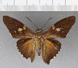 (Hesperiidae_gen sp. CF493 - CFC18984)  @11 [ ] copyright (2018) Christer Fahraeus Fahraeus Institute