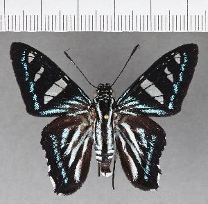 (Hesperiidae_gen sp. CF542 - CFC18996)  @11 [ ] copyright (2018) Christer Fahraeus Fahraeus Institute