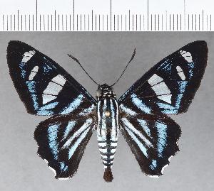 (Hesperiidae_gen sp. CF693 - CFC18997)  @11 [ ] copyright (2019) Christer Fahraeus Fahraeus Institute