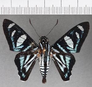 (Hesperiidae_gen sp. CF707 - CFC18999)  @11 [ ] copyright (2019) Christer Fahraeus Fahraeus Institute