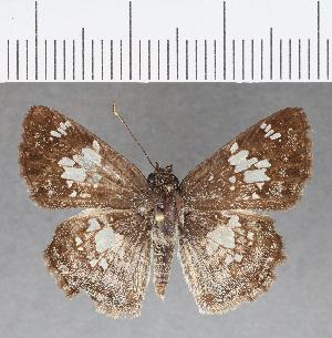 (Hesperiidae_gen sp. CF718 - CFC01902)  @11 [ ] copyright (2019) Christer Fahraeus Fahraeus Institute