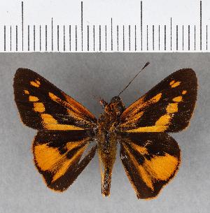 (Hesperiidae_gen sp. CF265 - CFC19200)  @11 [ ] copyright (2018) Christer Fahraeus Fahraeus Institute