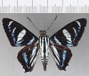 (Hesperiidae_gen sp. CF708 - CFC19659)  @11 [ ] copyright (2019) Christer Fahraeus Fahraeus Institute