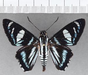 (Hesperiidae_gen sp. CF694 - CFC21396)  @11 [ ] copyright (2019) Christer Fahraeus Fahraeus Institute