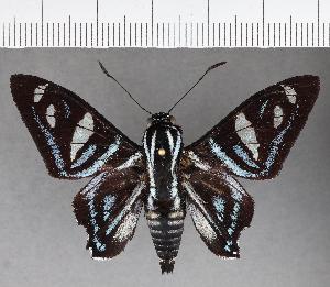 (Hesperiidae_gen sp. CF700 - CFC21400)  @11 [ ] copyright (2019) Christer Fahraeus Fahraeus Institute