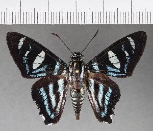 (Hesperiidae_gen sp. CF515 - CFC21408)  @11 [ ] copyright (2018) Christer Fahraeus Fahraeus Institute