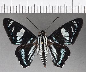 (Hesperiidae_gen sp. CF715 - CFC21409)  @11 [ ] copyright (2019) Christer Fahraeus Fahraeus Institute