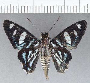 (Hesperiidae_gen sp. CF692 - CFC21412)  @11 [ ] copyright (2019) Christer Fahraeus Fahraeus Institute