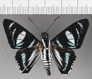 (Hesperiidae_gen sp. CF695 - CFC21422)  @11 [ ] copyright (2019) Christer Fahraeus Fahraeus Institute